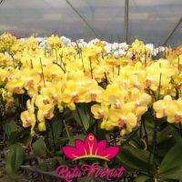 Jual Bunga Anggrek Terlengkap Dan Murah Ratu Florist Jakarta