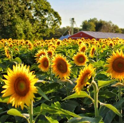 Jenis Bunga Matahari, Berbagai Jenis Bunga Matahari Yang Wajib Kamu Tahu