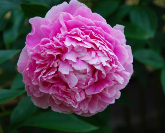 bunga asia, Bunga Dari Asia Terindah Untuk Pekarangan Anda